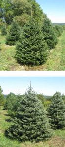 fraser-fir-blue-spruce